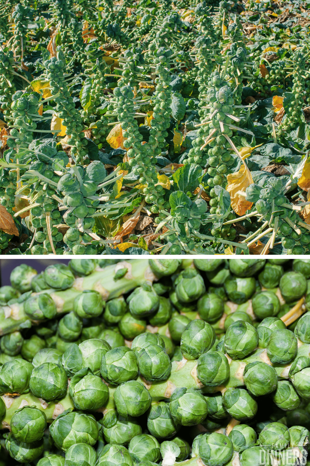 brussels sprouts in field on stalk